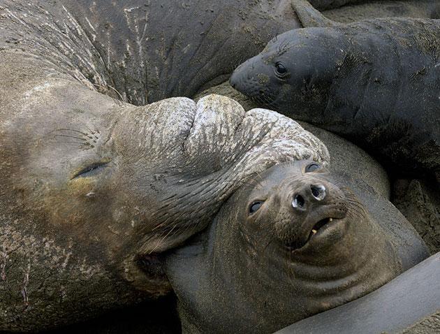 Морские слоны – одиночные животные и сходятся в брачный период