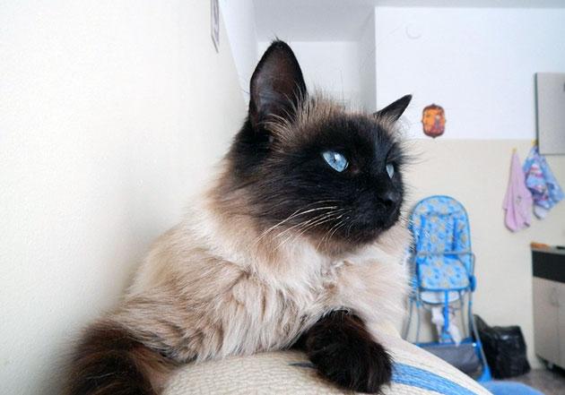 Невскую маскарадную кошку до трех месяцев кормят — 4 раза, после полугода — 2 раза