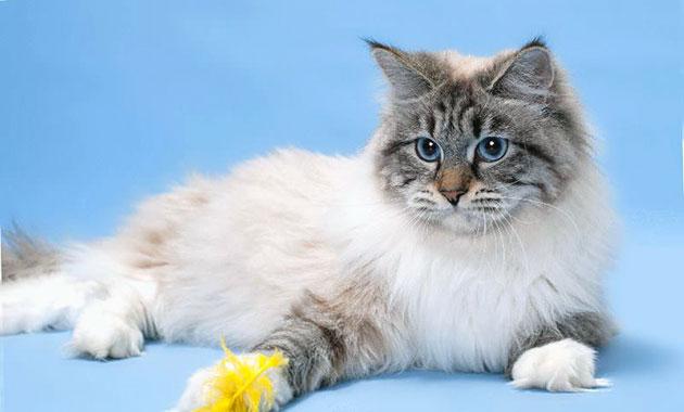 Окрас невской маскарадной кошки условно делят на 4 группы