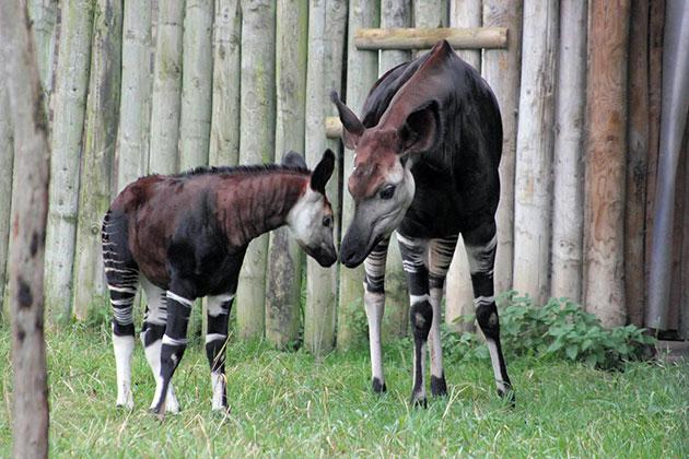 Первый окапи появился в Антверпенском зоопарке в 1919 год