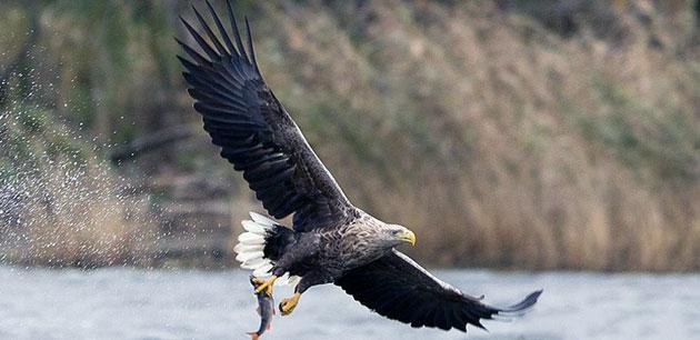 Места обитания орлана-белохвоста обширен