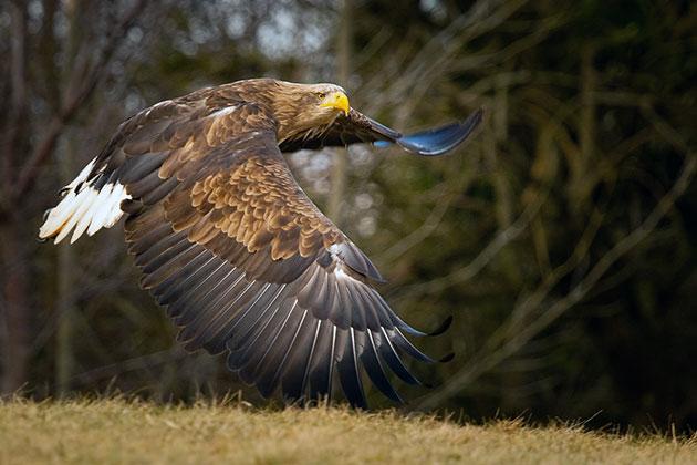 Подвид орлана-белохвоста Haliaeetus albicilla занесен в Красную Книгу