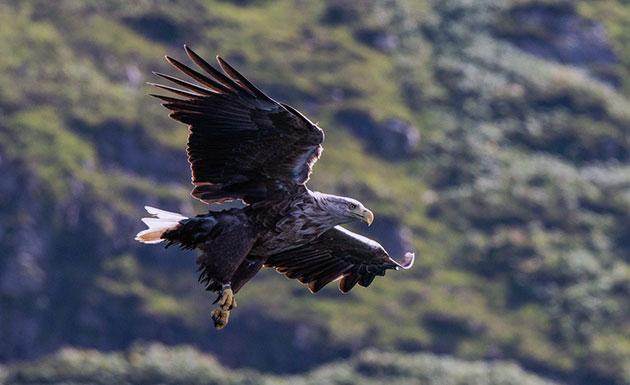 Орлан-белохвост из-за своих размеров практически не имеет врагов