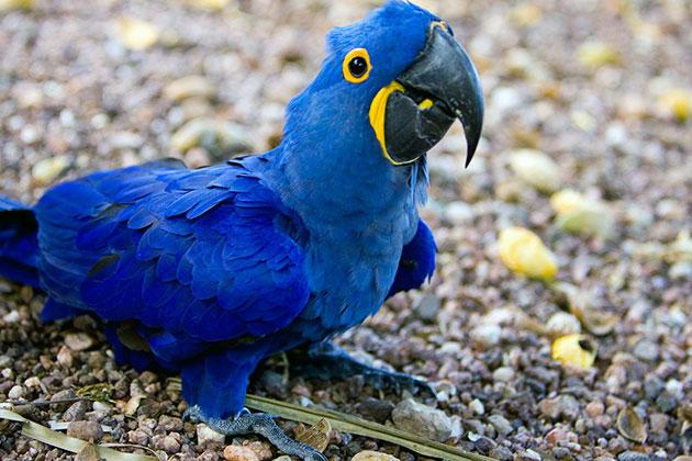 Птица голубой ара