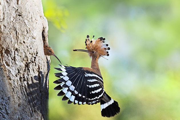 Кладка насиживается только самкой удода, а самец в этот период кормит её
