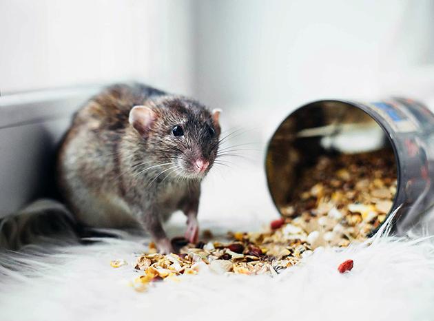 Крысы относятся к категории всеядных грызунов