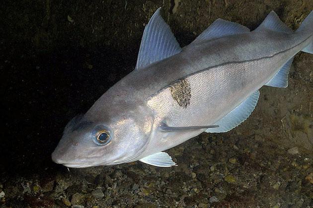 Рыба пикша питается мелкими беспозвоночными или более мелкими рыбами