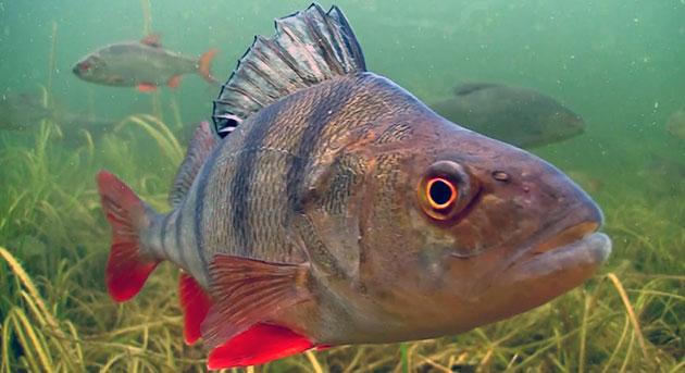 В летний период небольшие окуни отдают предпочтение заросшим водной растительностью заводям или заливам
