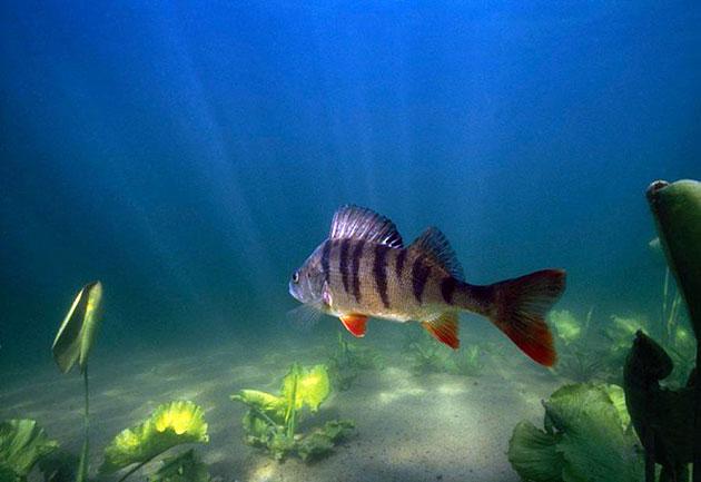 Рыба речной окунь