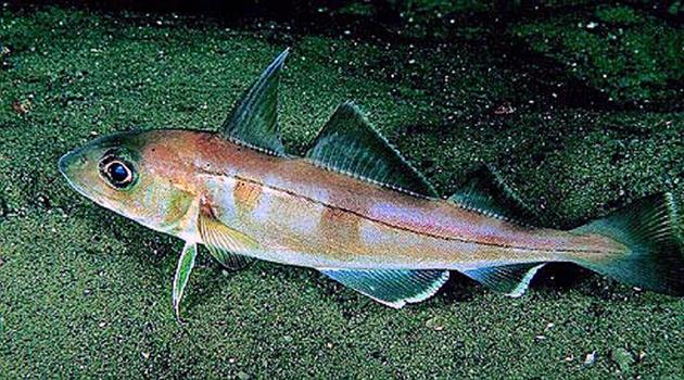 Пикша – морская рыба, которая принадлежит к семейству трески
