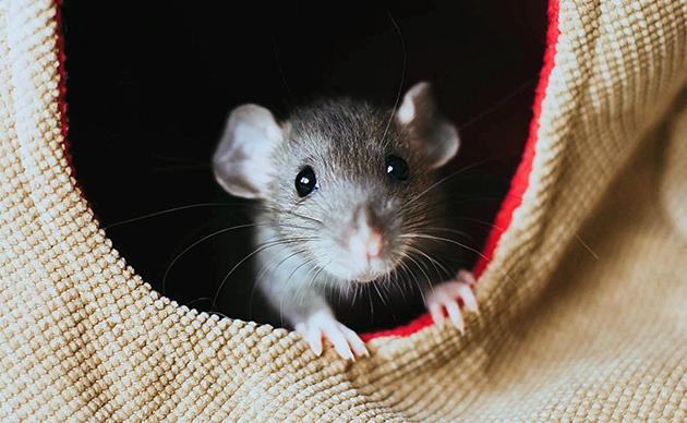Определиться с половой принадлежностью новорождённых крысят очень сложно