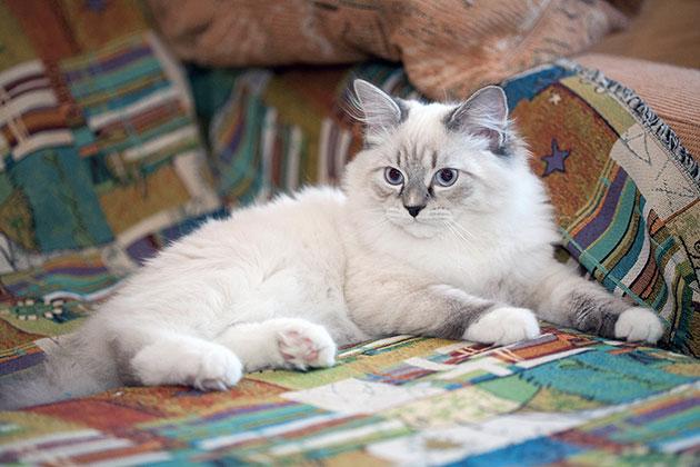 Шерсти невской маскарадной кошки стоит уделить особое внимание
