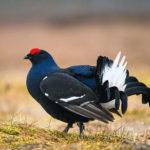 Птица тетерев