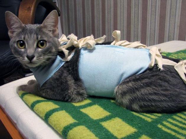 На восстановление кошки для стерилизации уходит около 10 дней