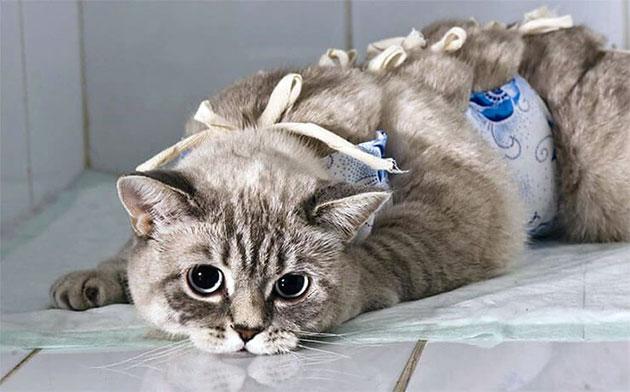 В каком возрасте стерилизовать кошку