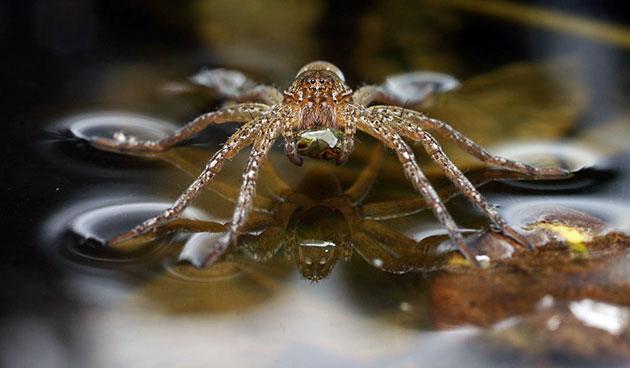 Паук-серебрянка или водяной паук