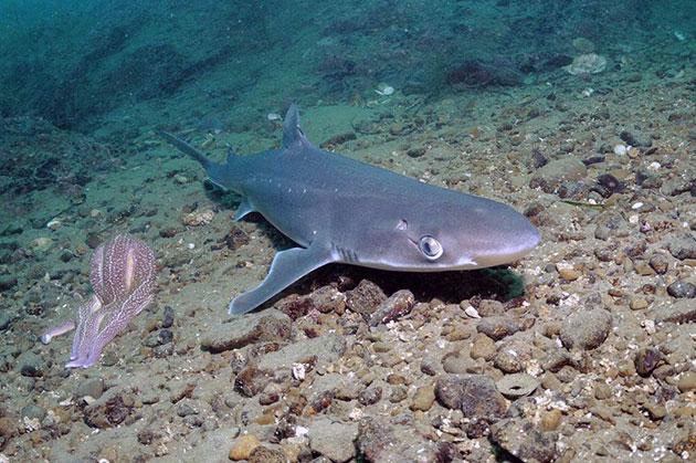 Акула катран (лат. Squalus acanthias)