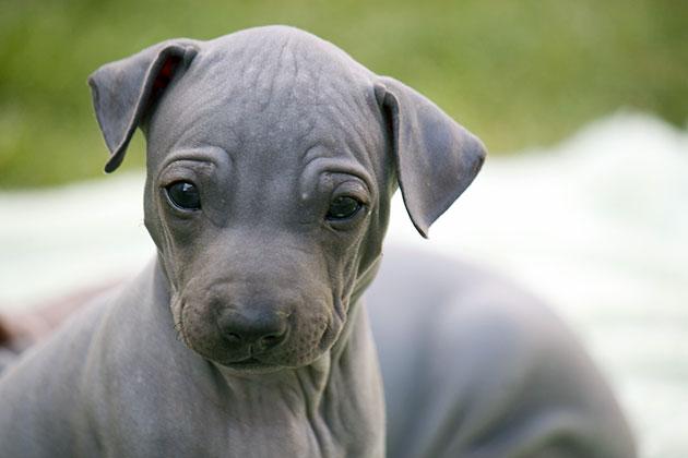 Цена щенка голого американского терьера варьирует от 15-20 до 70-80 тысяч рублей