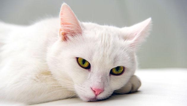 При стоматите у кошки необходим щадящий режим питания