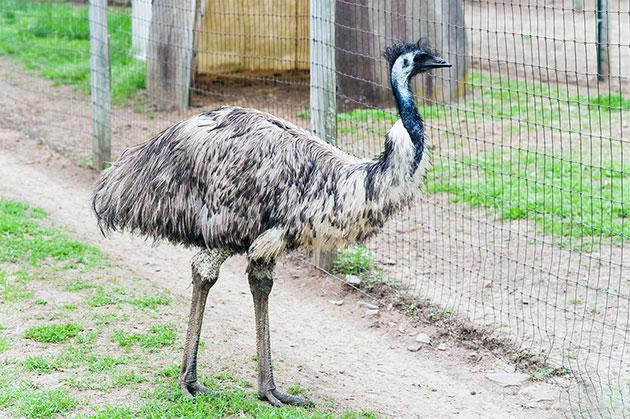 Животные Австралии – Эму