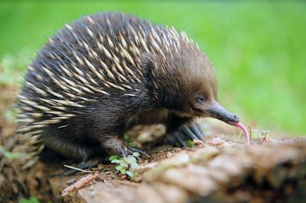 Животные Австралии – Ехидна
