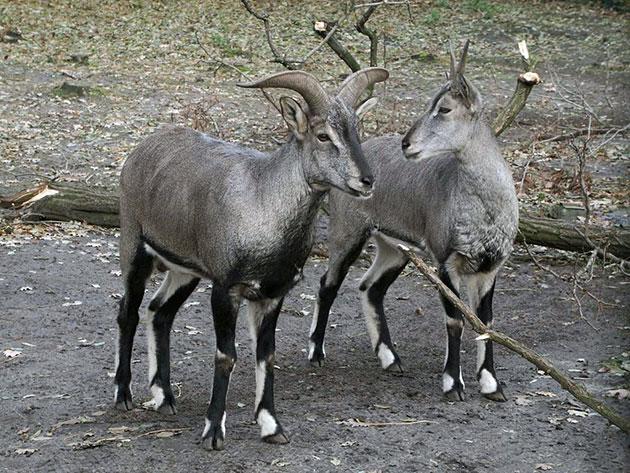 Самец голубого барана значительно крупнее самки