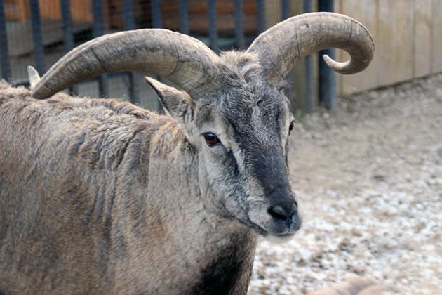 Голубой баран, нахур или бхарал