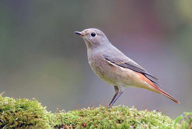 Птица горихвостка (лат. Phoenicurus)