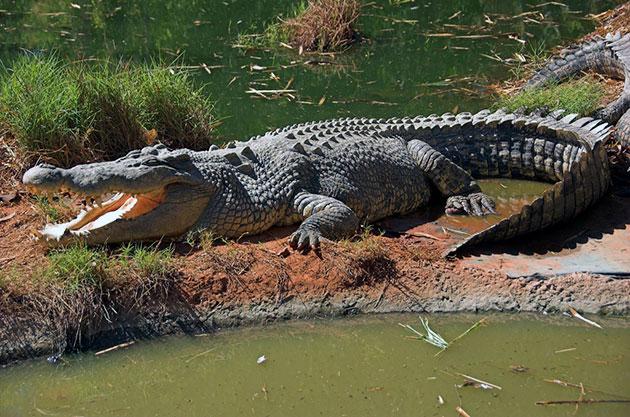 Животные Австралии – Гребнистый крокодил