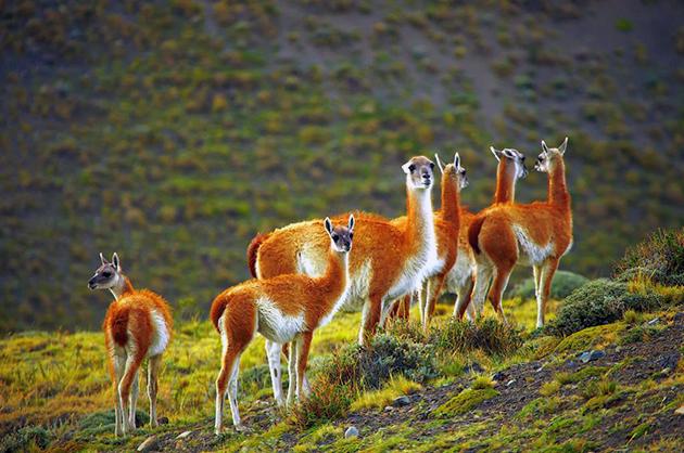 По мнению палеогенетиков гуанако — предок верблюдов