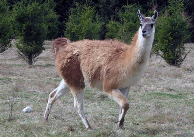 Гуанако (лат. Lama guanicoe)