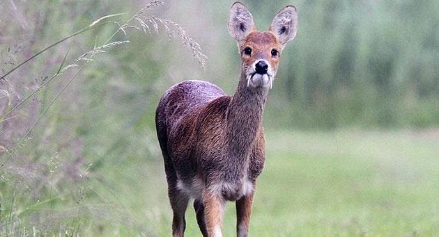 Численность поголовья кабарги неуклонно сокращается из-за браконьерского промысла