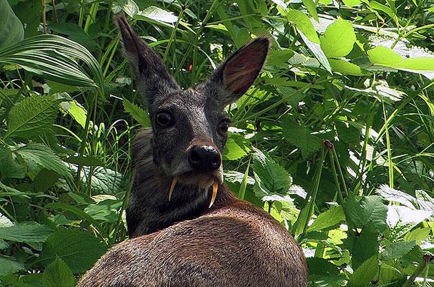 В условиях дикой природы, кабарга, живёт от 4 до 5 лет