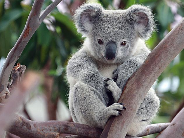 Животные Австралии – Коала