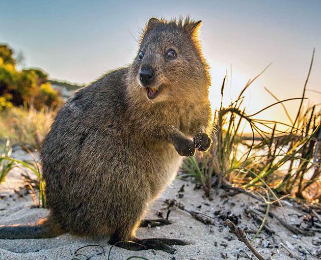 Животные Австралии – Квокка или короткохвостый кенгуру