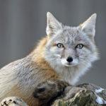 Корсак или степная лисица (лат. Vulpes corsac)