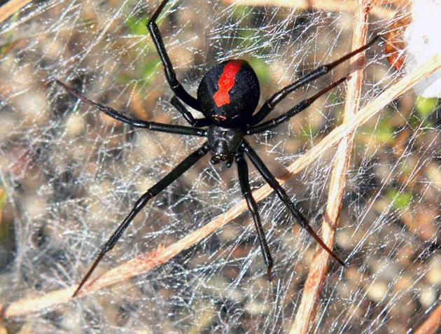 Животные Австралии – Красноспинный паук