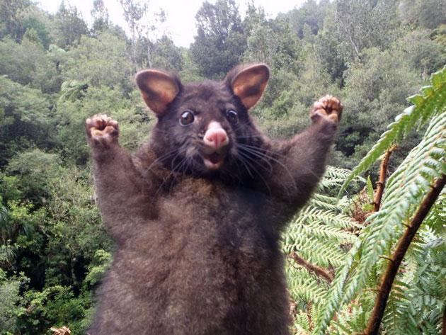 Животные Австралии – Лисий кузу