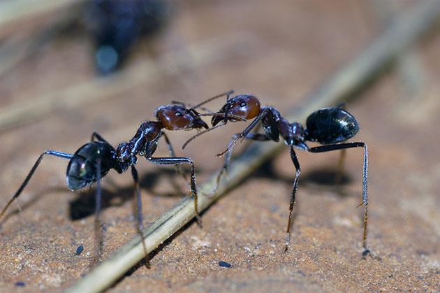 Животные Австралии – Мясной муравей