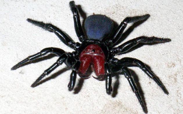 Животные Австралии – Мышиные пауки