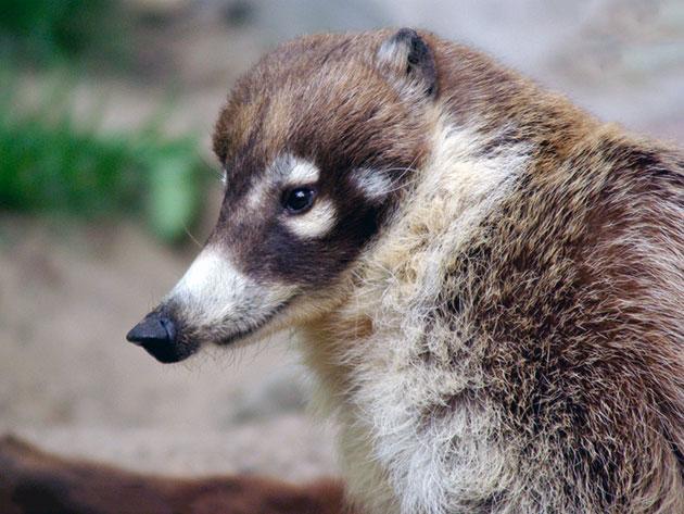 Основные враги носухи — крупные, хищные птицы, а так же ягуары и оцелоты