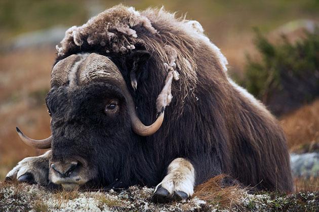 Овцебыки живут в среднем по 11–14 лет
