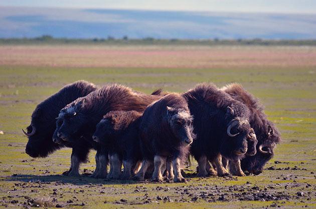 Овцебык объявлен охраняемым видом Арктики