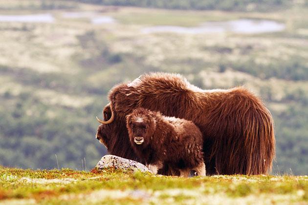 Гон у овцебыка, как правило, длится с конца июля до середины октября
