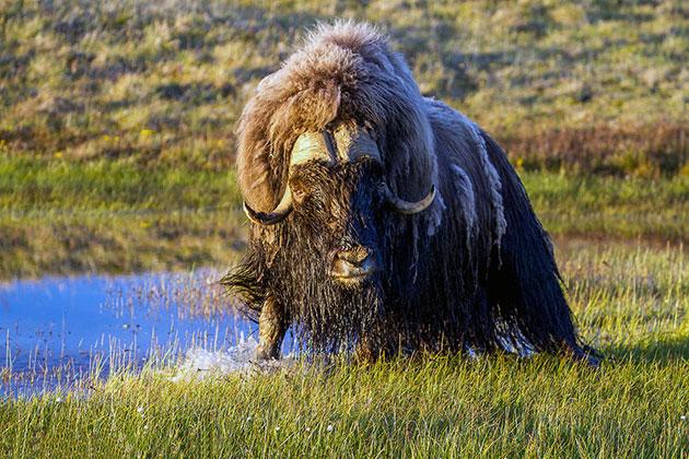 Овцебык или мускусный бык