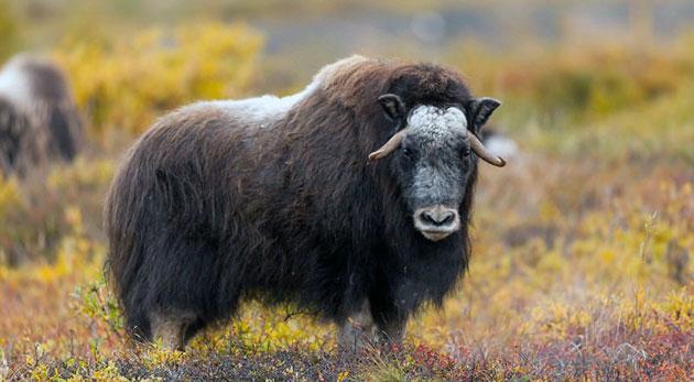 Исконный ареал овцебыка охватывал необозримые арктические территории Евразии