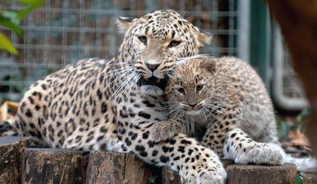 Потомство переднеазиатские леопарды приносят не чаще 1 раза в 1.5 года