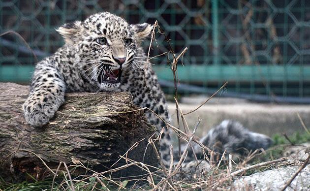 Самцы переднеазиатского леопарда крупнее самок