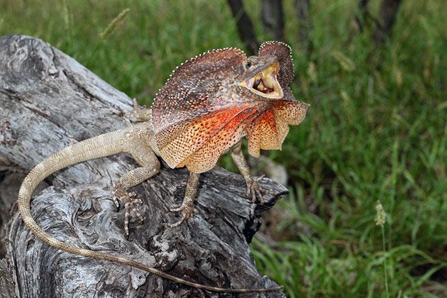 Животные Австралии – Плащеносная ящерица