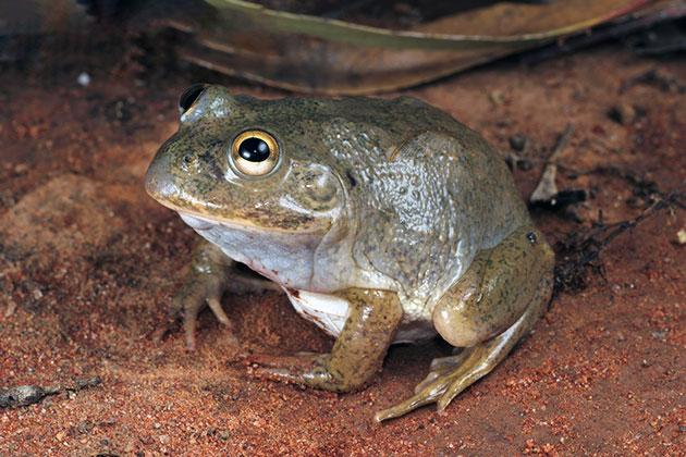 Животные Австралии – Плоскоголовая лопатница